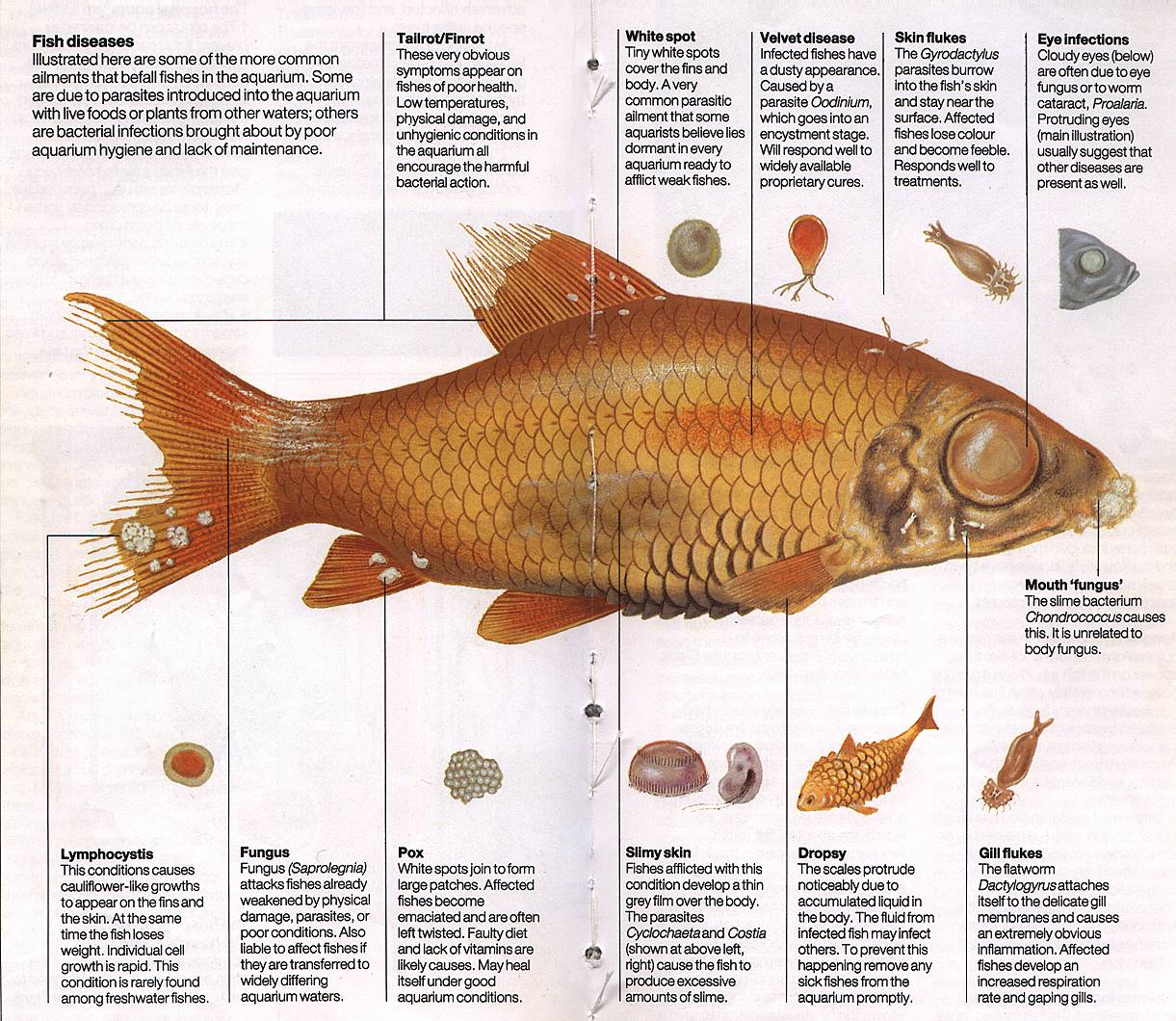 The aquaden view topic fish diseases illustration for Koi fish parasites